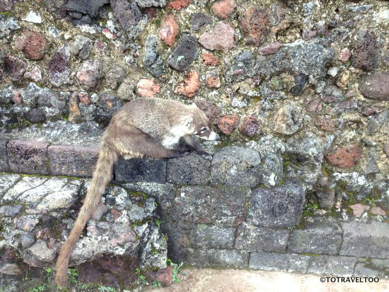 Watch out for these little devils searching for food in Tepozteco