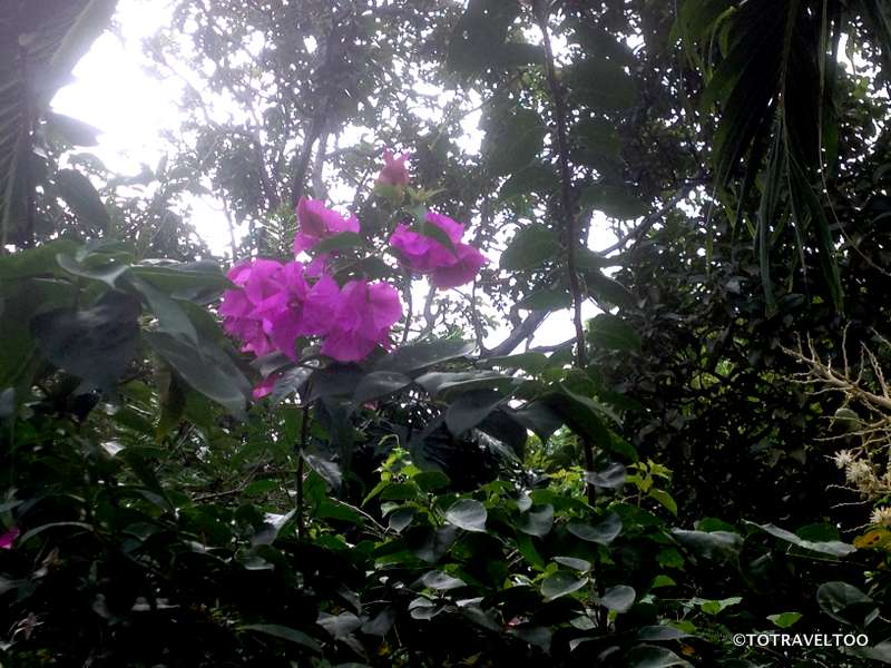 Bouganvilea on Ometepe Island
