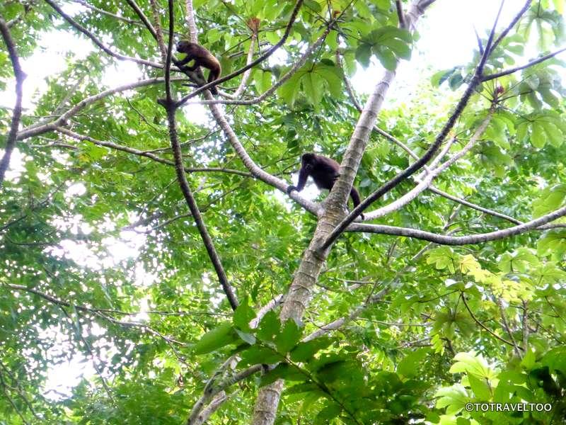 Howler Monkeys on the slopes of Volcano Maderas Ometepe Island