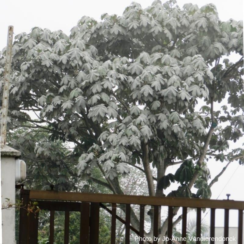 Yarumo Blanco Tree Manizales