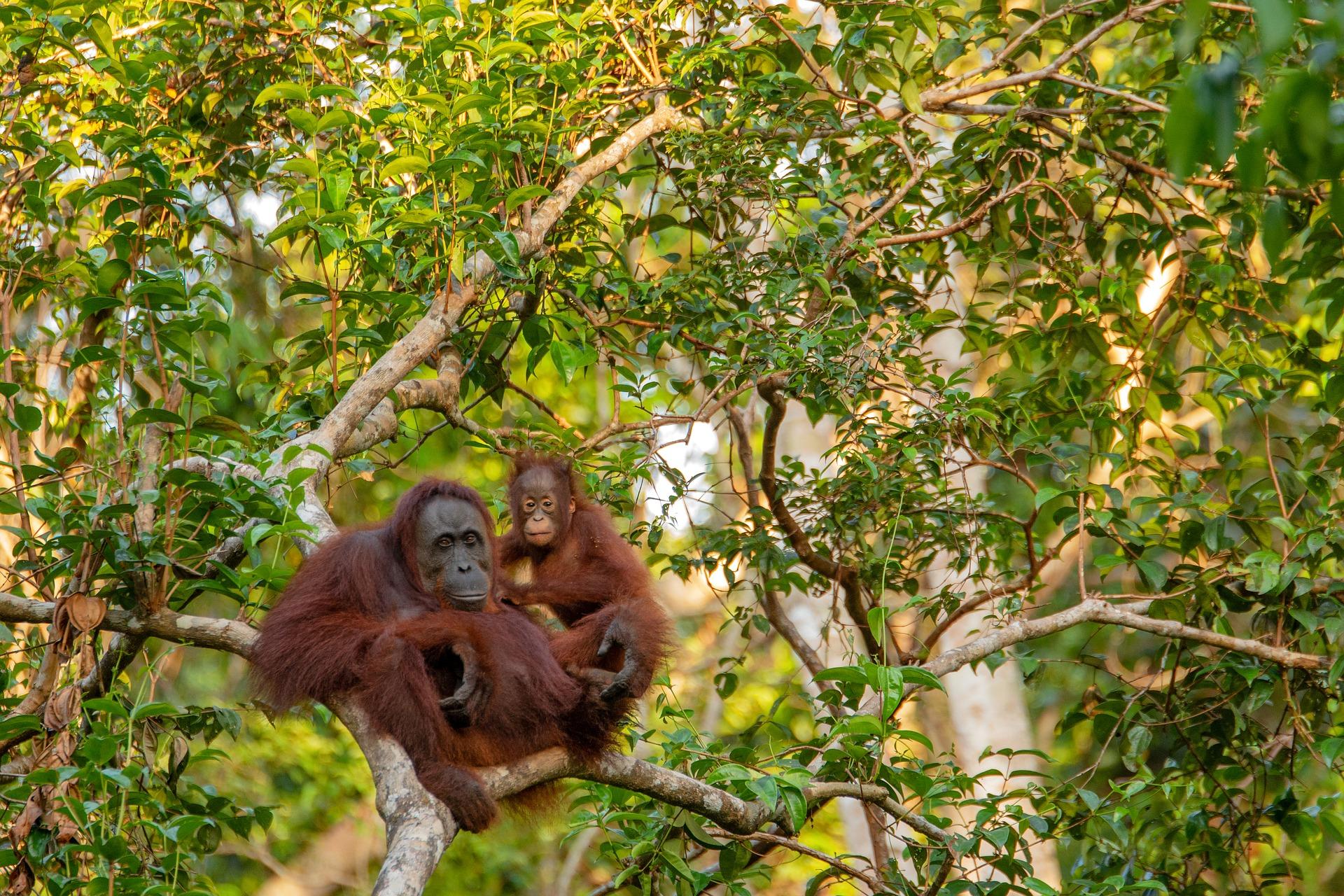 Orangutans in Kuching