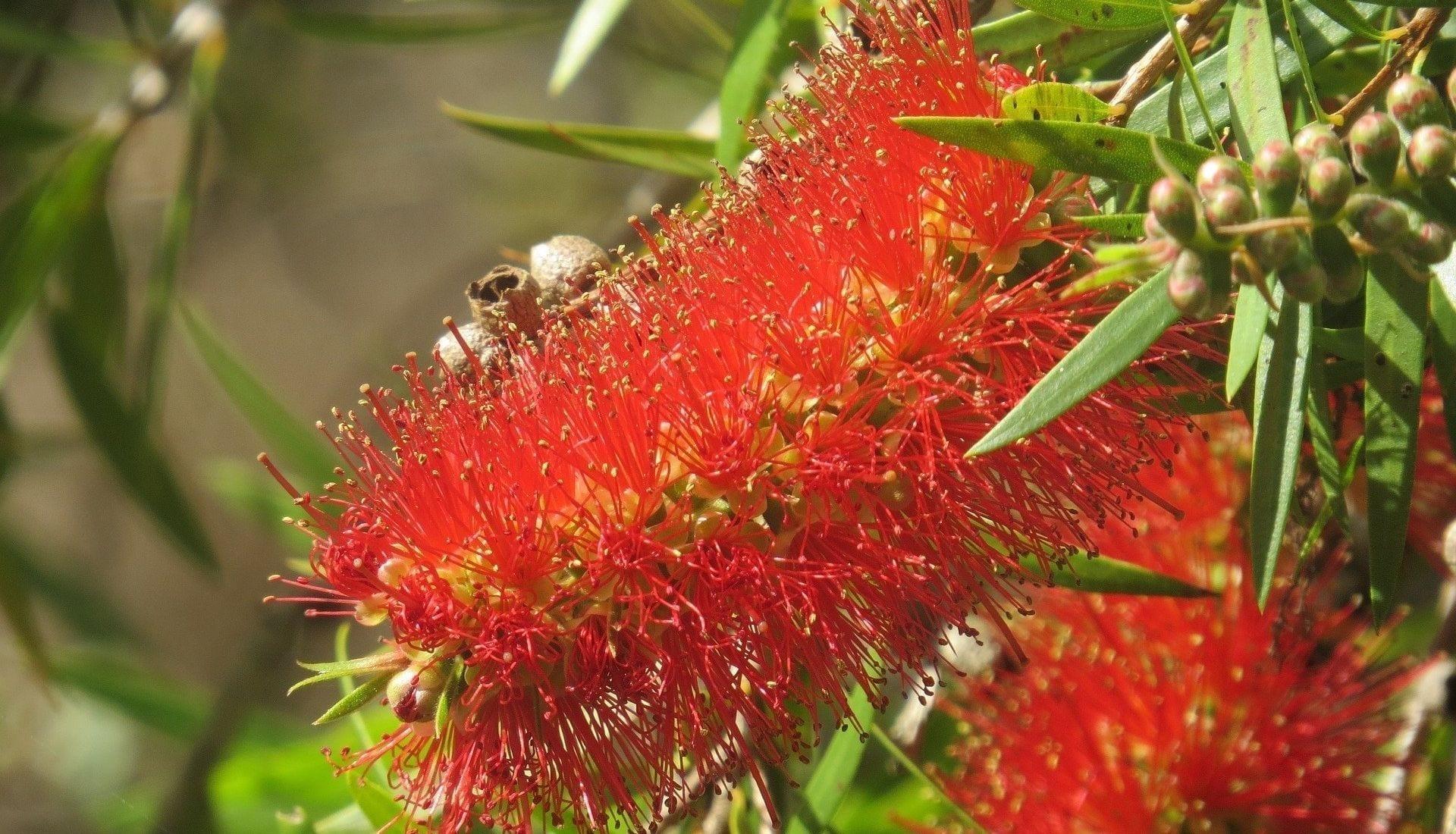 Callistemon Bottle Brush Native Flower