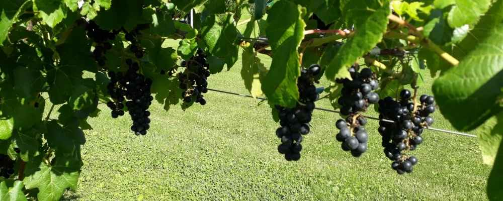 Wineries of Finger Lakes